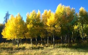 Aspen trees in their golden glory
